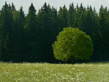 Single tree on meadow. With conifer trees in the background Royalty Free Stock Images