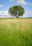 Single tree on a meadow Stock Image