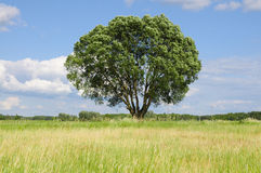 Single tree on a meadow Royalty Free Stock Photo