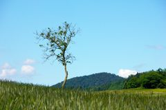 Single tree on meadow Royalty Free Stock Photography