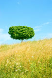 Single tree in meadow Royalty Free Stock Photography