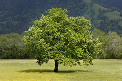 Single tree in meadow at springtime Stock Photography