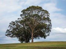 Single tree on meadow. In summer landscape, taken in Hunter Valley, Australia stock image