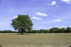 Single tree in the middle of a farm field. Newly emerging corn. Bright blue sky with white clouds in the summer royalty free stock photos