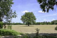 Single tree in the middle of a farm field. Newly emerging corn. Bright blue sky with white clouds in the summer royalty free stock photography