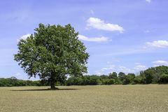 Single tree in the middle of a farm field. Newly emerging corn. Bright blue sky with white clouds in the summer royalty free stock photo