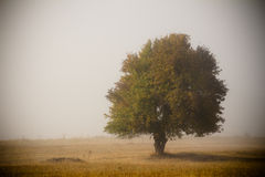 Single tree in mist Royalty Free Stock Image
