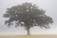 A single tree in the mist on Southampton Common royalty free stock photography