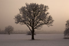 Single tree with misty background Royalty Free Stock Photography