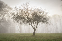 Single tree in morning mist Royalty Free Stock Photos
