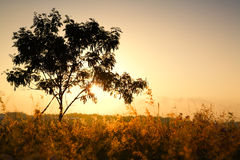 Single tree on morning summer sunlight Royalty Free Stock Images