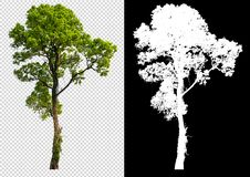 Free Single Tree On Transparent Picture Background With Clipping Path, Single Tree With Clipping Path And Alpha Channel On Black Stock Photo - 143512010