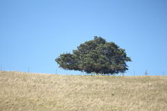 Single Tree. In paddock with fence. Rural NSW, Australia. Blue sky background Royalty Free Stock Photo