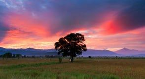 Single tree on a paddy field at Sabah, Borneo Stock Photos
