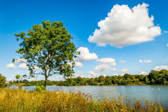 Single Tree by the Reservoir. Single tree growing along the shore of a huge reservoir. Supplying water to areas of Somerset and Dorset, counties in the South of Stock Images
