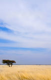 Single tree in savannah. Single tree in yellow savannah veld with storm clouds gathering stock images