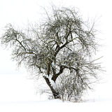 Single tree on a snow covered field Royalty Free Stock Images