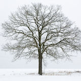 Single tree on a snow covered field Royalty Free Stock Image