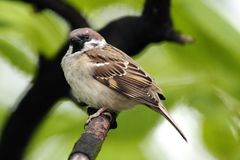 Single Tree Sparrow on a tree branch during a spring period. In Poland Stock Images