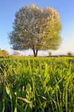 Single tree in spring Royalty Free Stock Photos