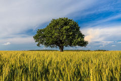 Single tree in spring Royalty Free Stock Images