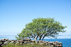 Single tree by a stonewall at coast with calm water Royalty Free Stock Images
