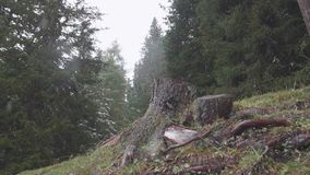 Single tree stub. Slow motion close up shot of single tree stub in a pine forest. First snow falling in the woods on a cold early winter cloudyday. Wilderness stock video footage