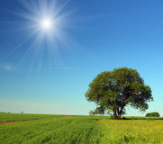 Single tree in summer field. Summer landscape with single tree in field royalty free stock photos