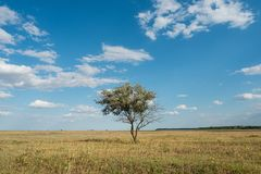 Single tree in summer green grass field landscape clouds blue sky. Steppe royalty free stock image