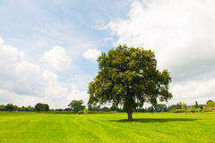 Single tree in green meadows Royalty Free Stock Photo