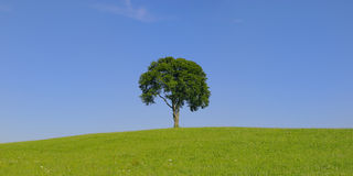 Single Tree In Summer Royalty Free Stock Photography