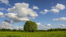Single tree on a summer meadow stock video