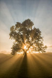 Single tree. Sun beams breaking through a tree on foggy morning Royalty Free Stock Image