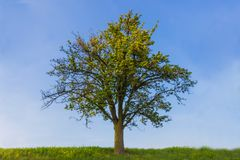 Tree on sunny day. Single tree on sunny day with blue sky Stock Image