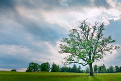 Single tree at sunset at green meadow Royalty Free Stock Image