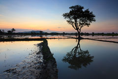 Single tree at sunset in Sabah, Borneo Stock Image