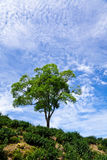 Single tree on tea garden Royalty Free Stock Photo