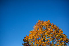 Single tree top against blue sky in fall royalty free stock images