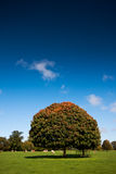 Single tree under a blue sky in autumn Royalty Free Stock Images