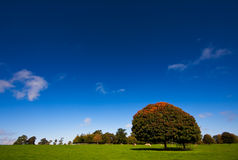 Single tree under a blue sky in autumn Royalty Free Stock Photo