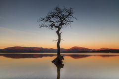 Single tree in water. At Milarrochy Bay, Loch Lomond with mountains behind during sunrise stock photo