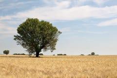 Single tree in wheat field Stock Photo