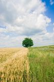 Single tree and wheat field Royalty Free Stock Photography