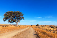 Single tree in a wheat field on a background of blue sky Stock Image