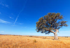 Single tree in a wheat field on a background of blue sky Stock Photography
