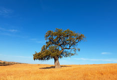 Single tree in a wheat field on a background of blue sky Royalty Free Stock Images