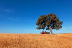Single tree in a wheat field on a background of blue sky Stock Images