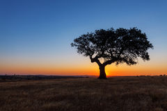 Single tree in a wheat field on a background of sunset Stock Photo