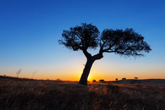 Single tree in a wheat field on a background of sunset Stock Photography