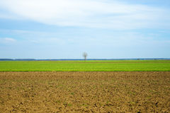 Single tree on wheat field Royalty Free Stock Image